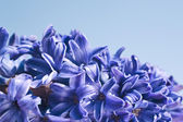 Blue hyacinth flower on blue background — Stock Photo