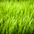 Close up of green corn field. — Stock Photo
