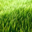 Green corn field close up — Stock Photo