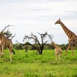 Giraffes family, Etosha Park - 