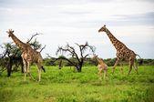 Giraffes family, Etosha Park — Stock Photo