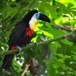 Toucan sitting on the branch - Stock Photo