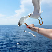 Flying seagull taking food from hand — Stock Photo
