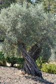 Olive tree in Greece — Stock Photo