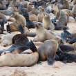 Colony of seals — Stock fotografie