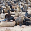 Colony of seals — Stock Photo #9741388