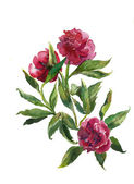 Bouquet of peonies watercolor — Stock Photo