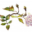Stock Photo: Lilac dogrose branch watercolor