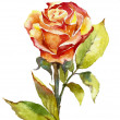 Orange rose watercolor — Stock Photo