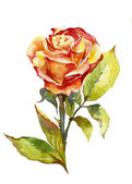 Orange rose watercolor — Zdjęcie stockowe
