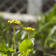 Two yellow flowers — Stock Photo