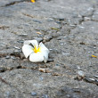 A white Frangipani flower fallen on the road - Stock Photo
