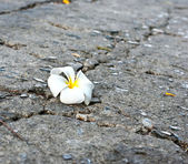 A white Frangipani flower fallen on the road — Stock Photo