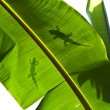 Lizard silhouette on green leaf — Stock Photo #10412691