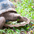 A big turtle eating fresh vegetable - Stock Photo