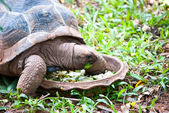 A big turtle eating fresh vegetable — Stock Photo