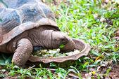 Eine große schildkröte, die frisches gemüse zu essen — Stockfoto