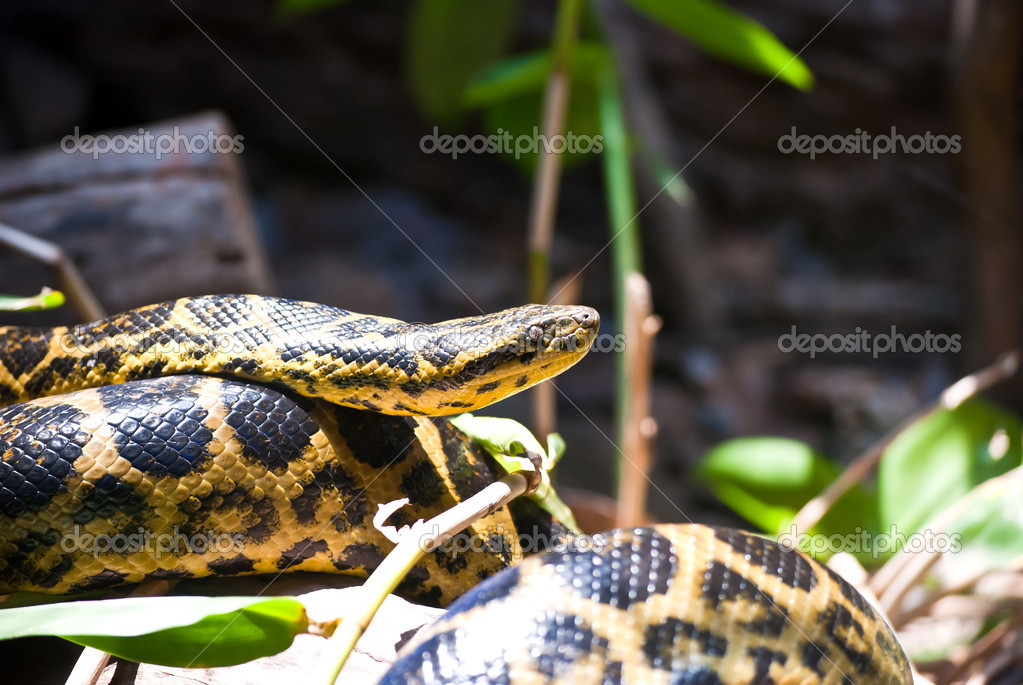 Snake wrapped on a limb   Stock Photo #10415488