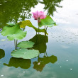 Pink water lilies in a pond — Stock Photo
