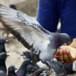 Pigeon Feeding from a Man's Hand - Stock Photo