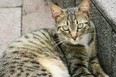 полосатый кот, смотрю с интересом — Стоковое фото