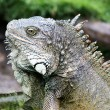 Ecuador Iguana - Stock Photo