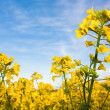 Rapeseed field with canola crops on blue sky — Stock Photo