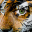 Face with green eye painted with siberian tiger - Stock Photo