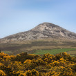 Great Sugar Loaf and Yellow Peaflowers in County Wicklow in Ireland — Stock Photo