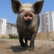 Big pig and modern apartment buildings — Stock Photo