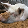 Funny white pig lying on sawdust — Foto Stock