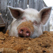 Funny white pig lying on sawdust and looking — Foto Stock