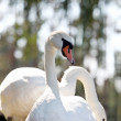 Two swans — Stock Photo #9713376