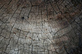 Old pine tree texture — Stock Photo