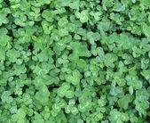 Closeup of clover — Stock Photo
