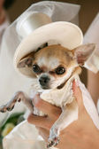 Little dog in a Wedding Clothes — Stock Photo