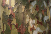 Platan tree bark after rainfall (wooden texture) — Zdjęcie stockowe