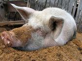 おがくずの上に横たわる面白い白豚 — ストック写真