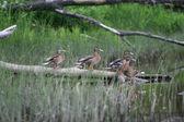 Four ducks on the log — Stock Photo