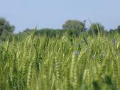 Green wheat background — Stock Photo