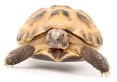 Tartaruga su sfondo bianco — Foto Stock