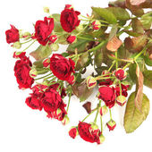 Red roses isolated on white background — Stock fotografie