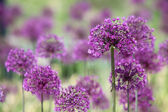 Violet flowers background — Stockfoto