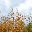 Tall Crops — Stock Photo