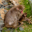 Mother Monkey — Stock Photo