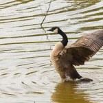 Flying Duck — Stock Photo