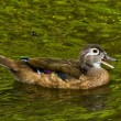 Immature Female Wood duck — Stock Photo