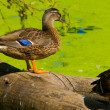 Brown Duck — Stock Photo