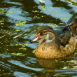 Immature Male Wood duck — Stock Photo
