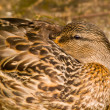 Stock Photo: Sleepy Brown Duck